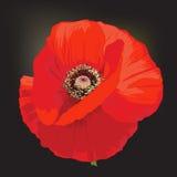Flor de la amapola - rheas del Papaver Imagen de archivo libre de regalías