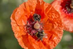 Flor de la amapola y del abejorro rojos en un campo de amapolas wildflowers Imágenes de archivo libres de regalías