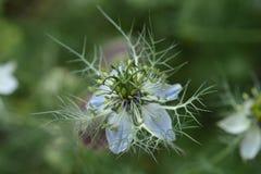 flor de la Amor-en-uno-niebla Fotos de archivo