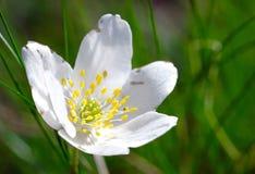 Flor de la anémona fotos de archivo libres de regalías