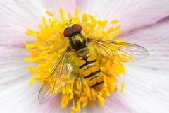 Flor de la anémona Fotografía de archivo libre de regalías