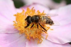 Flor de la anémona con una abeja Imagen de archivo