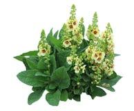 Flor de la antorcha de Mullein Imagen de archivo libre de regalías