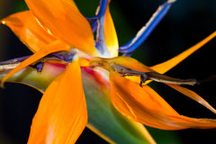 Flor de la ave del paraíso Imagenes de archivo