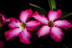 Flor de la azalea Imagen de archivo libre de regalías