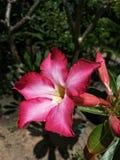 Flor de la azalea Imágenes de archivo libres de regalías