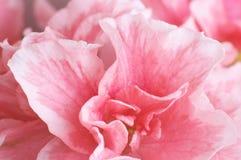 Flor de la azalea Fotos de archivo libres de regalías