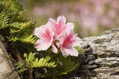 Flor de la azalea Imagenes de archivo