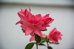 Flor de la azalea Fotografía de archivo