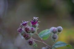 Flor de la bardana - lappa del Arctium con la abeja Fotografía de archivo libre de regalías
