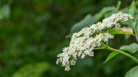 Flor de la baya del saúco Imagenes de archivo