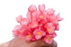 Flor de la begonia imagen de archivo