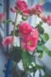 flor de la begonia Fotos de archivo libres de regalías