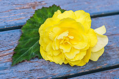 Flor de la begonia del jardín Fotografía de archivo