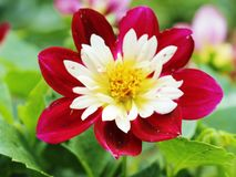 Flor de la belleza Fotografía de archivo libre de regalías