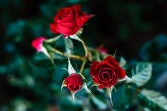 Flor de la belleza de la rosa del rojo, amor del día de tarjetas del día de San Valentín Foto de archivo libre de regalías