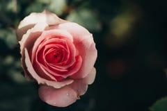 Flor de la belleza de la rosa del rosa, amor del día de tarjetas del día de San Valentín Fotografía de archivo libre de regalías