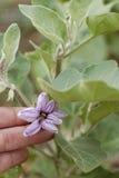 Flor de la berenjena. Foto de archivo libre de regalías