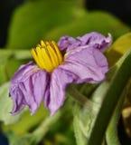 Flor de la berenjena foto de archivo libre de regalías