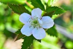 Flor de la flor de Blackberry arbusto Imágenes de archivo libres de regalías