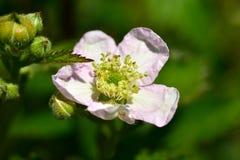 Flor de la flor de Blackberry arbusto Imagen de archivo