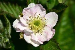 Flor de la flor de Blackberry arbusto Fotografía de archivo