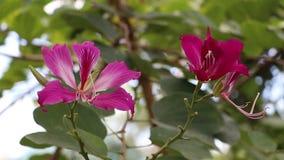 Flor de la flor blakeana de Ã- del Bauhinia o de la orquídea púrpura de Hong Kong en el árbol almacen de metraje de vídeo