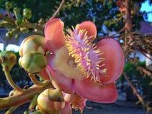Flor de la bola de cañón Fotografía de archivo libre de regalías