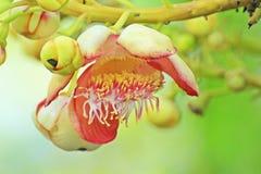 Flor de la bola de cañón en el parque Imágenes de archivo libres de regalías