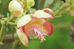 Flor de la bola de cañón en el parque Imagen de archivo libre de regalías