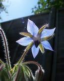 Flor de la borraja fotos de archivo
