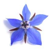 Flor de la borraja foto de archivo libre de regalías