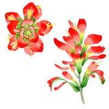 Flor de la brocha india del Wildflower en un estilo de la acuarela aislada Foto de archivo libre de regalías
