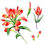 Flor de la brocha india del Wildflower en un estilo de la acuarela aislada Imágenes de archivo libres de regalías