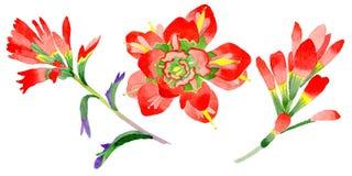 Flor de la brocha india del Wildflower en un estilo de la acuarela aislada Imagenes de archivo