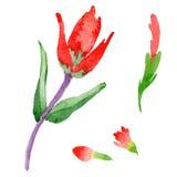Flor de la brocha india del Wildflower en un estilo de la acuarela aislada Imagen de archivo libre de regalías