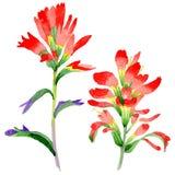 Flor de la brocha india del Wildflower en un estilo de la acuarela aislada Foto de archivo