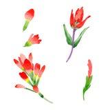 Flor de la brocha india del Wildflower en un estilo de la acuarela aislada Fotos de archivo libres de regalías