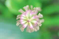 Flor de la bromelia o fasciata de Aechmea Fotos de archivo libres de regalías