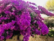 Flor de la buganvilla Fotografía de archivo libre de regalías