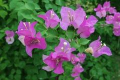 Flor de la buganvilla Imágenes de archivo libres de regalías