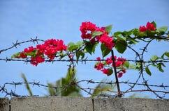 Flor de la buganvilla Imagen de archivo libre de regalías