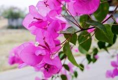 Flor de la buganvilla Fotos de archivo