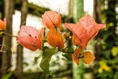 Flor de la buganvilla del jard?n bot?nico foto de archivo libre de regalías