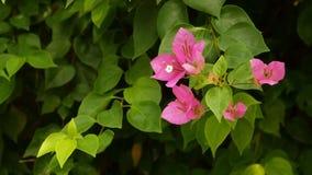 Flor de la buganvilla en Vietnam asia Imágenes de archivo libres de regalías