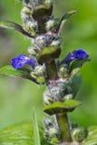 flor de la Bugle-mala hierba imagenes de archivo