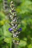flor de la Bugle-mala hierba imagen de archivo libre de regalías