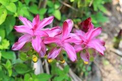 Flor de la cúrcuma imagenes de archivo
