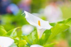 Flor de la cala foto de archivo