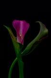 Flor de la cala imagen de archivo